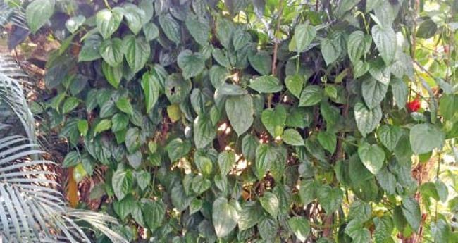 betel-nut-leaf_article.jpg