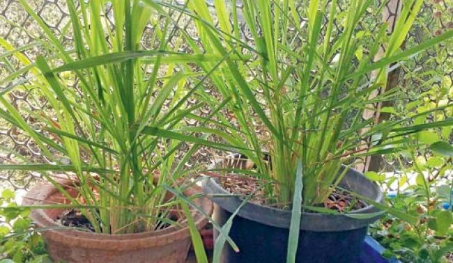 lemongrass_article.jpg
