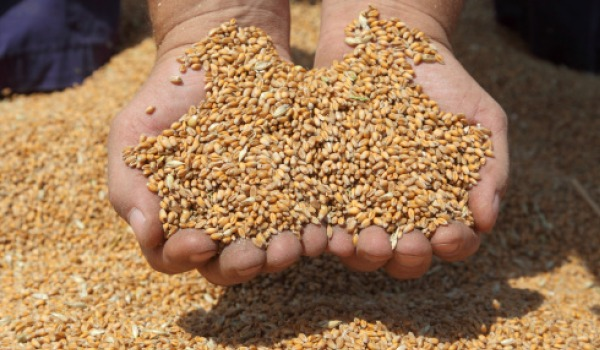 wheat-germ-600.jpg
