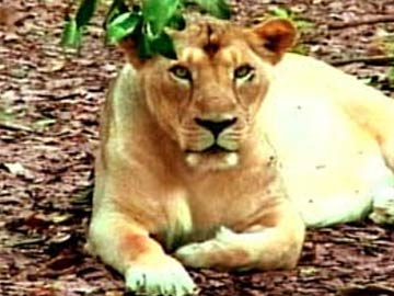 Train Mows Down Asiatic Lioness Near Gir Forest