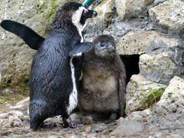 Two rare baby penguins make their debut at Hungary zoo