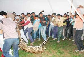 Leopard_deaths_295.jpg
