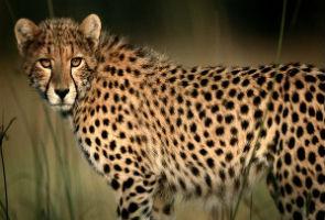 Four-legged 'Cheetah' robot sets new speed record