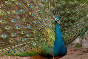 Eight peacocks succumb to heat stroke in village near Gurgaon