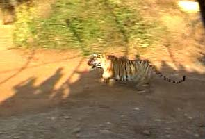Bina 1 and 2, sisters and tigresses, arrive in Sariska