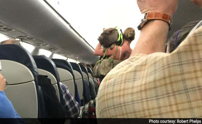 http://www.ndtv.com/news/images/story_page/Pig_on_plane_650_1Dec14.jpg