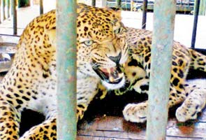 In Mumbai, a leopard comes knocking at 7 am